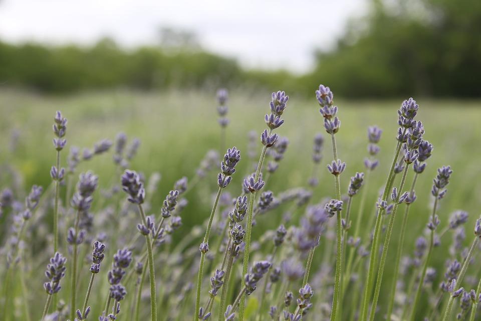 lavender-1668063_960_720